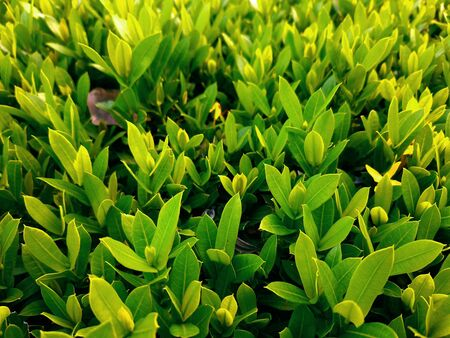 Closed up green ixora bush in sunny day (only leaves, no blossom) Stock Photo
