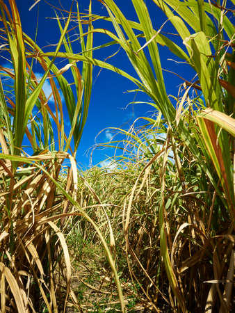 Photography of sugar cane fields in Barbados 版權商用圖片