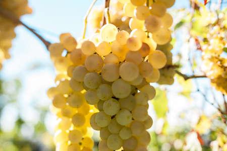 white grape: Branch of ripe white grape in September horizontal Stock Photo