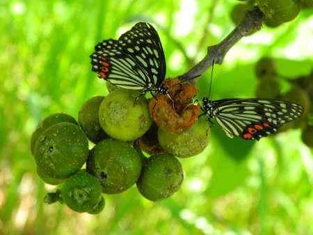 feasting: Butterfly feasting on rotten fruit