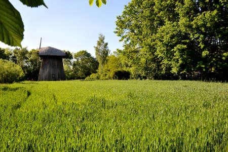 緑のトウモロコシ ヤングコーンと古い木造工場