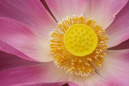Close-up Pink lotus flower.