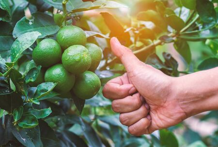 Green lemon tree Very good sign from hand. Stock Photo