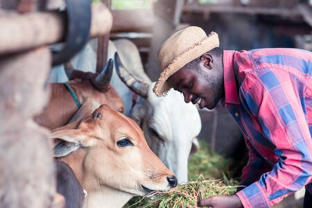 Kindliness African farmer feeding cows with grass at the farm