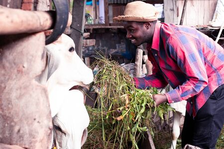 African farmer feeding cows with grass at the farm