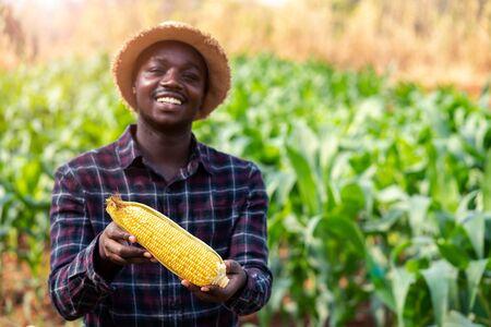 Close up a fresh corn holding by african farmer man in a farm land.