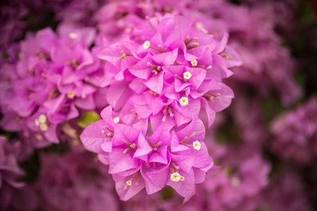 Pink bougainvillea flower with beauty bokeh Stock fotó