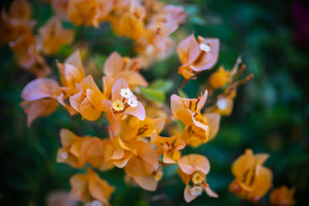 Yellow bougainvillea flower with beauty bokeh Stock fotó