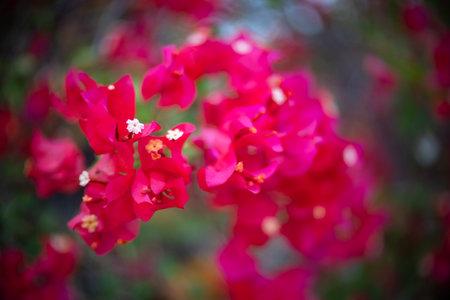 Red bougainvillea flower with beauty bokeh