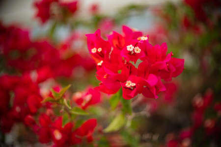 Red bougainvillea flower with green leaf