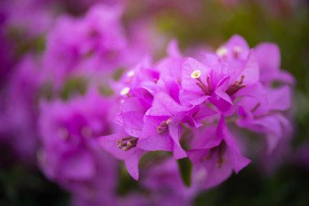 Pink bougainvillea flower with beauty bokeh.16:9 style