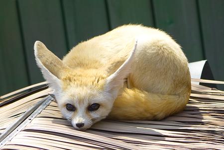 Fennec fox Stock Photo