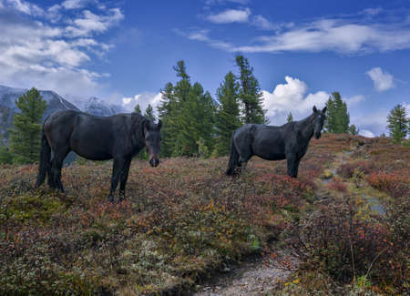Loose horses in the mountains Eastern Sayan  photo