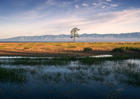 Lonely pine near lake Baikal Imagens