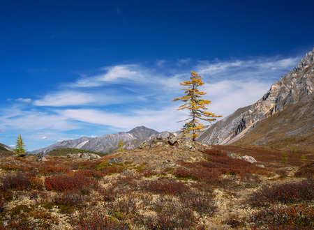 Larch in the mountains Imagens