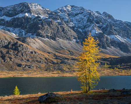 Larch in the mountains Stock Photo