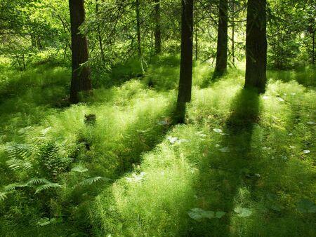 sunshine in the understorage of a coniferous forest in sweden