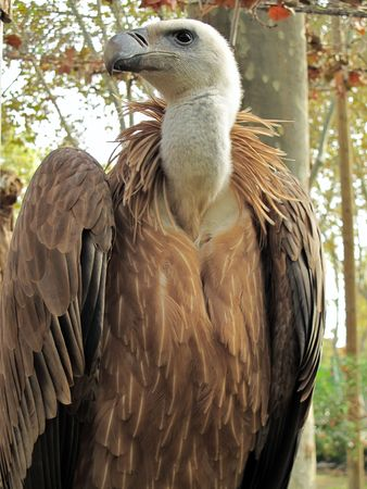 fulvus: half portrait of a griffon vulture, Gyps fulvus, taken in the zoo of barcelona Stock Photo