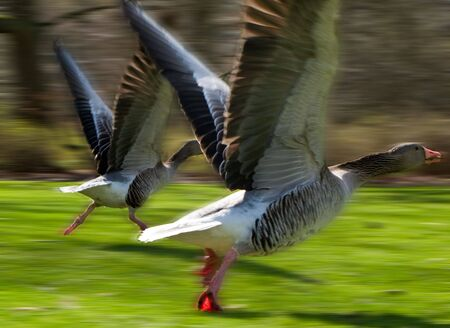 starting geese with added motion blur