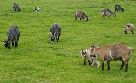 hircus: Goats, Capra aegagrus hircus, grazing on a meadow in Denmark