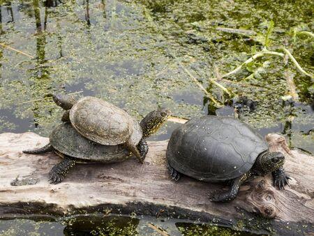 emys: Turtles, European pond turtle, Emys orbicularis sitting on wood in a pond Stock Photo
