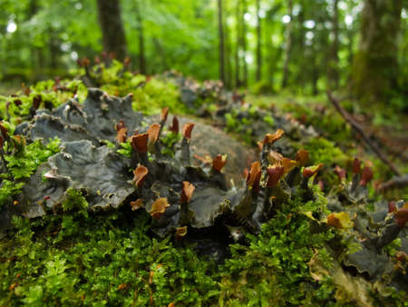 hepatic: liverworts in a forest in sweden Stock Photo