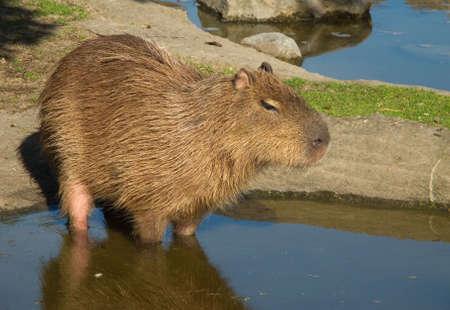 Capybara, Hydrochoerus hydrochaeris in sideview standing in water