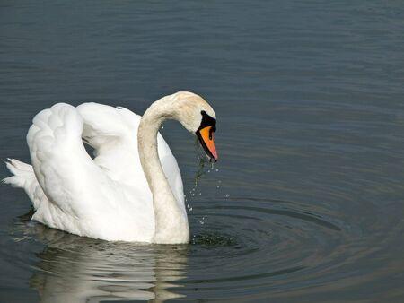 Beautyful Mute Swan, Cygnus olor, on water eating green plant