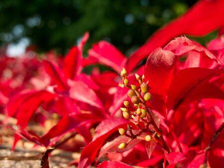 Parthenocissus quinquefolia, virginia creeper con rojo deja en oto�o Foto de archivo - 7919810