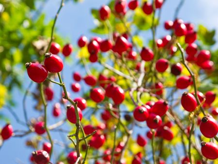 rose hip on bush in autumn with blue sky