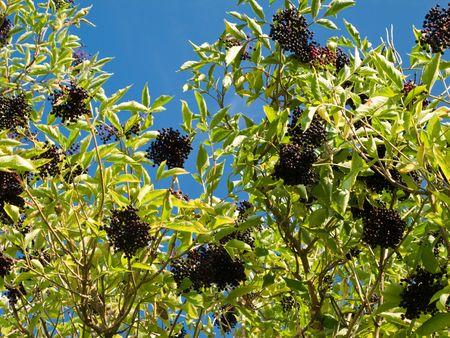 Ripe Sambucus nigra, elder, elderberry on bush in autumn