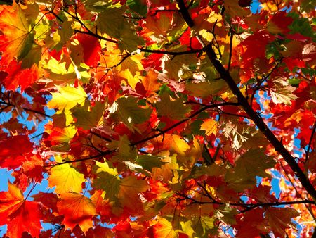 branch of maple with colorful leaves in autumn