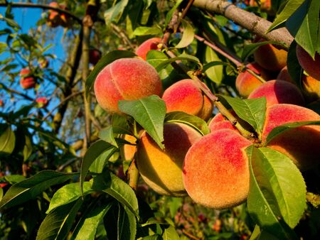 Fresh ripe peaches on a tree in warm sunlight