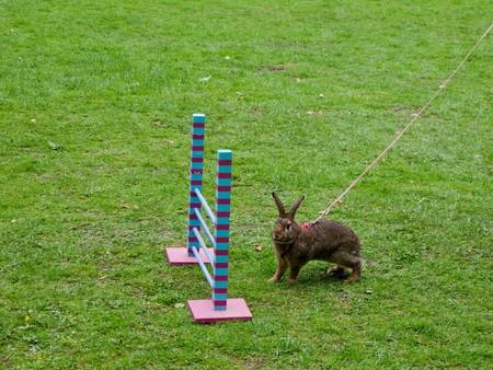 salto de valla: Conejo antes de un espect�culo de salto. jinete de salto es un deporte muy popular en Suecia