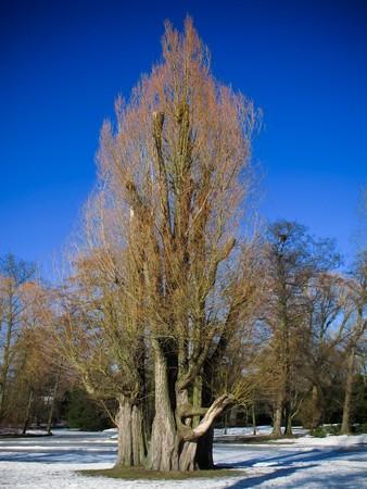 sallow: salix tree, willow, sallow, osier in a park in frederiksberg, denmark in sun light in winter Stock Photo