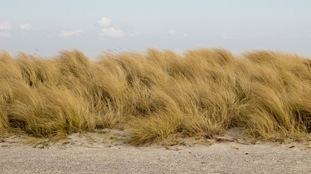 Beachgrass, Ammophila, moved by the wind with beach in the foreground and sky in the background