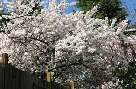 tree with white cherry flowers in spring, Prunus Stock Photo - 9172084