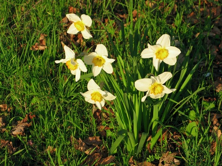 Daffodil flowers, Narcissus pseudonarcissus, in warm sunlight, Stock Photo - 9172085