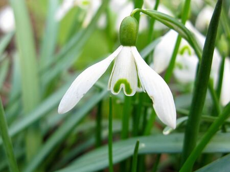 closeup of a Snowdrop flower, Galanthus nivalis, spring photo