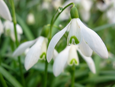 closeup of a Snowdrop flower, Galanthus nivalis, spring Stock Photo - 9172087