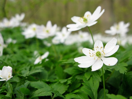 wood anemone - anemone nemerosa in detail with flower and leaves photo