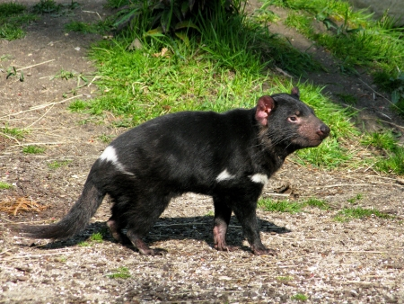 Tasmanian devil, sarcophilus harrisii, seen from the side