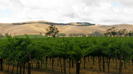 vine yard in barossa valley, australia, with cloudy sky and hills in background