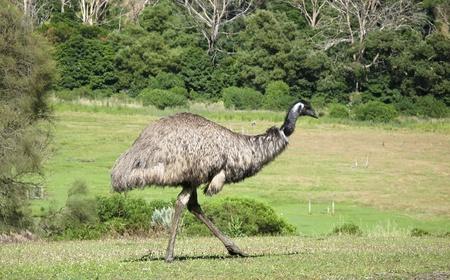 Emu, Dromaius novaehollandiae, in its natural habitat in Australia Stock Photo