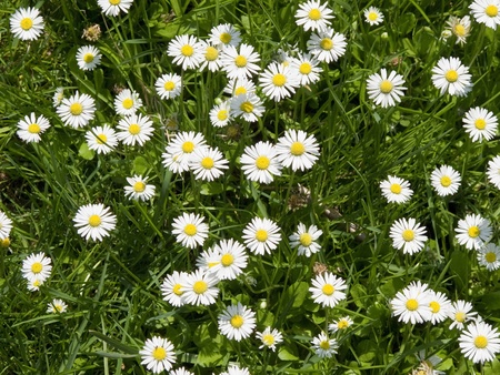 a field of daisy flowers in high angle view, background Stock Photo - 9763584
