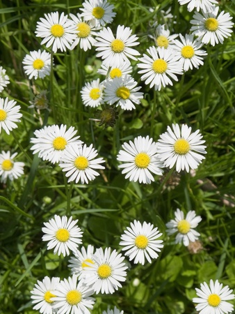 a field of daisy flowers in high angle view, background Stock Photo - 9763580