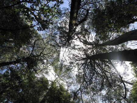 australian rain forest tree tops seen from below Stock Photo