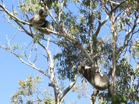 Koala, Phascolarctos cinereus, in its natural habitat on a eucalyptus tree