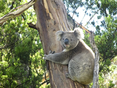 species: Koala, Phascolarctos cinereus, in its natural habitat on a eucalyptus tree