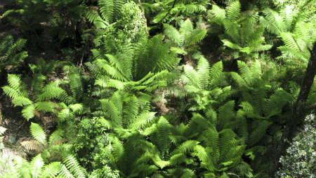 tree ferns, Cyatheales, in an australian rain forest seen from above photo